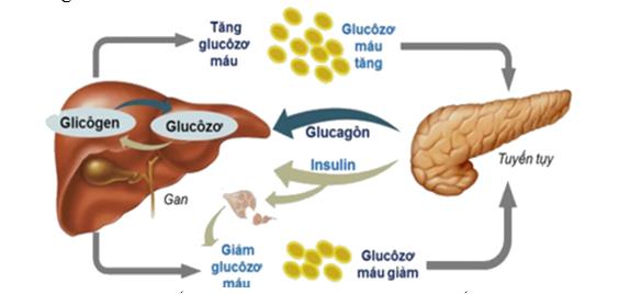 chuyển hóa insulin
