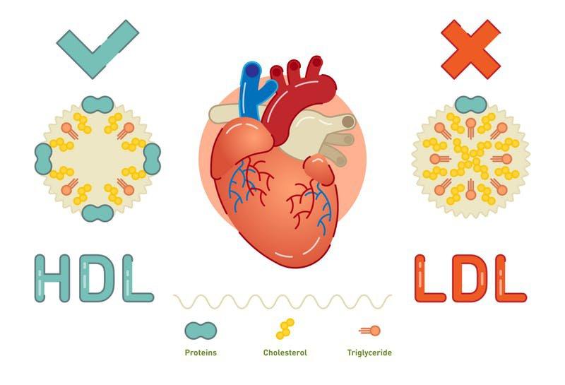 Phân biệt cholesterol xấu và tốt