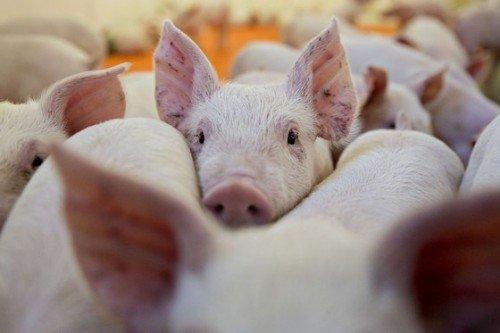 Dịch tả lợn
