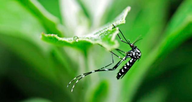 Muỗi truyền viêm não Nhật Bản