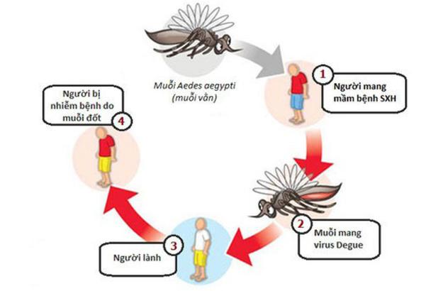 Muỗi truyền bệnh sốt xuất huyết cho người