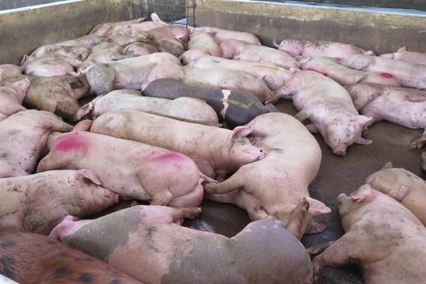 Bệnh tả lợn