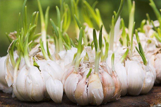 Ăn tỏi mọc mầm có độc không?