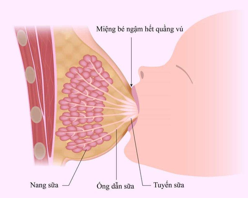 Mối liên quan giữa hormone Prolactin với sự tiết sữa mẹ