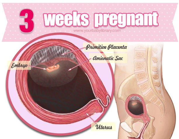 Sự phát triển của thai nhi tuần 3
