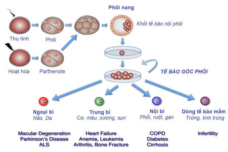 Tế bào gốc phôi