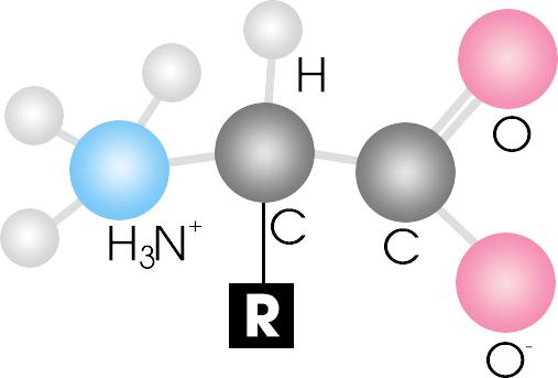 Axit amin là gì