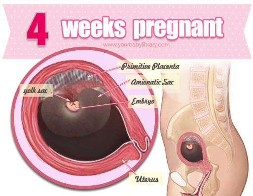 Sự phát triển của thai nhi tuần 4