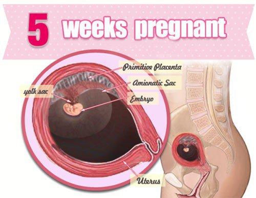 Sự phát triển của thai nhi tuần 5