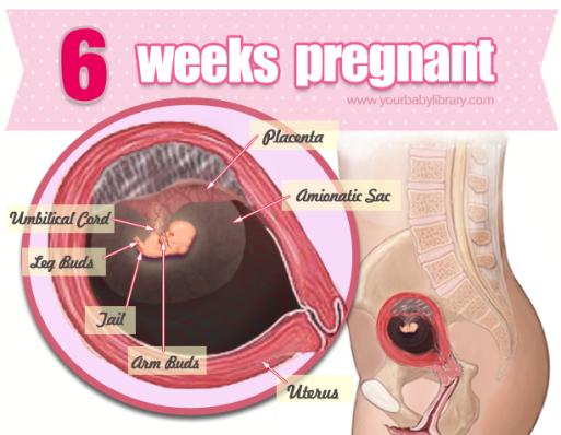 Sự phát triển của thai nhi tuần 6