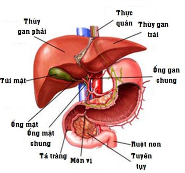 Hình ảnh giải phẫu gan, mật