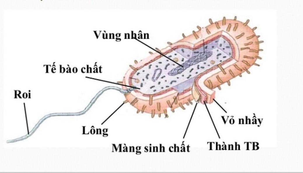 Cấu trúc vi khuẩn