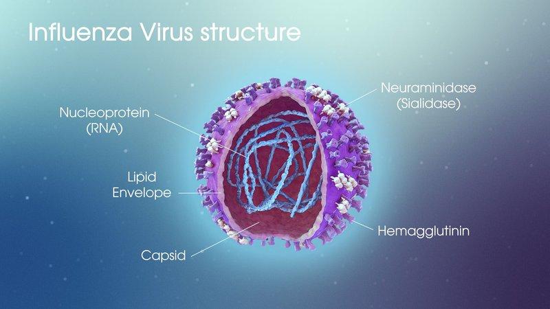 Đặc điểm cấu tạo của virus cúm