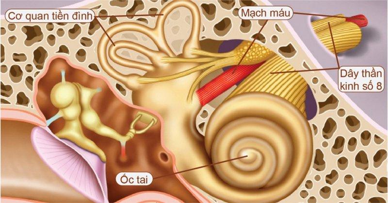 U dây thần kinh thính giác , số 8