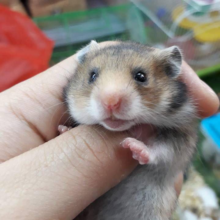 chuột hamster bear cắn