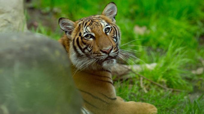 Loài Hổ tại sở thú Bronx (New York, Mỹ) cho kết quả dương  tính với coronavirus