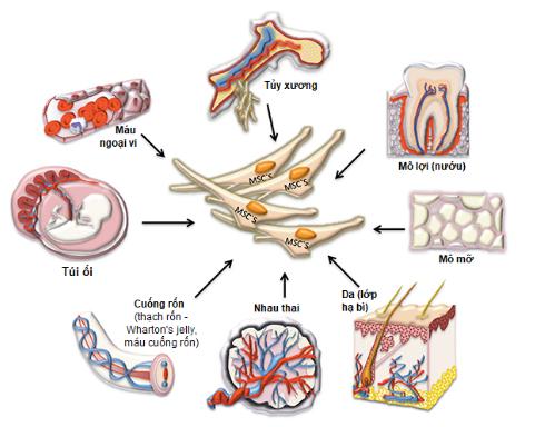 Tế bào gốc trưởng thành được tìm thấymột vàilượng nhỏ trong hầu hết các mô trưởng thành
