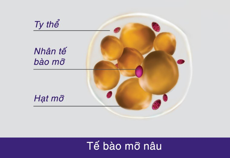 tế bào mỡ nâu