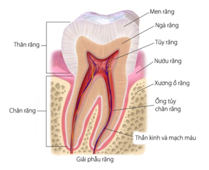 Giải phẫu răng