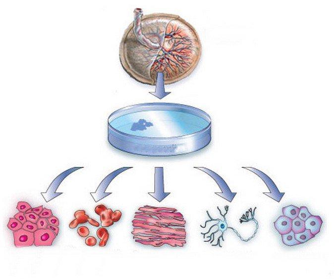 Tế bào gốc từ màng ối nhau thai