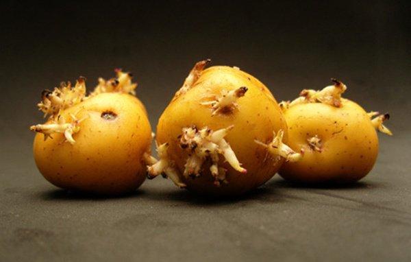 Khoai tây mọc mầm là một trong những dấu hiệu của khoai tây đã hỏng