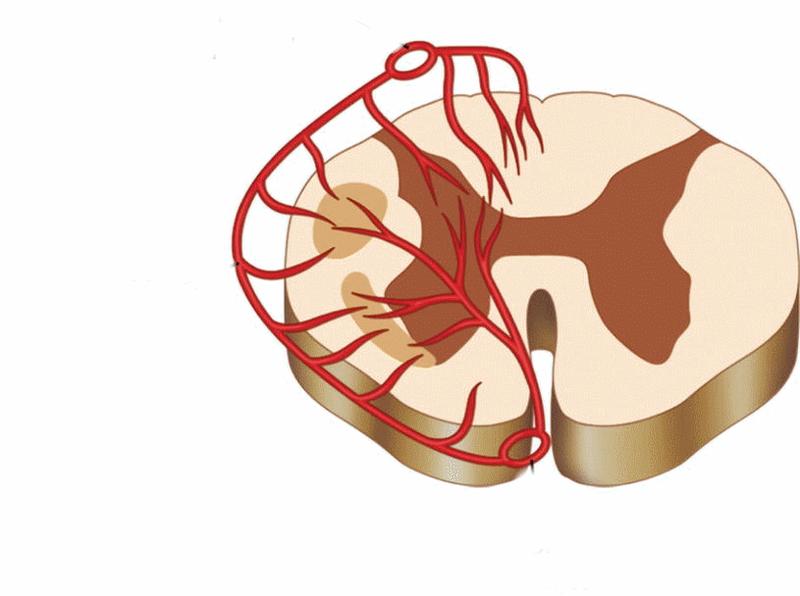 mạch máu của tủy sống
