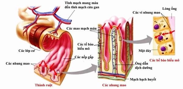 Cấu tạo ruột non và các loại u ruột non thường gặp | Vinmec