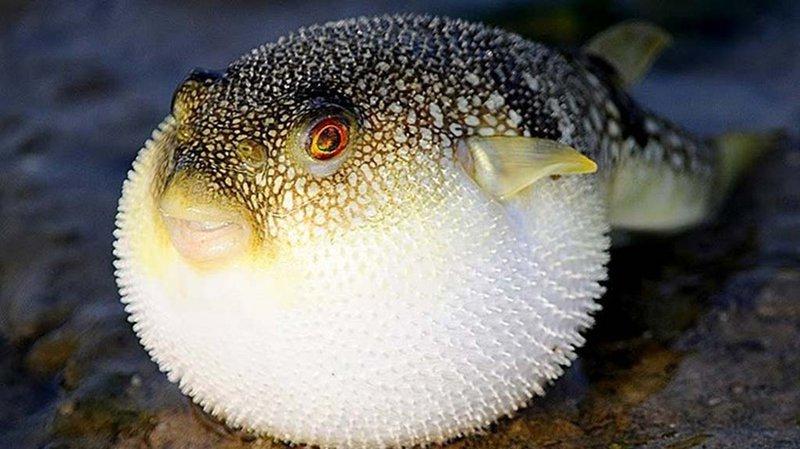 Ngộ độc cá nóc