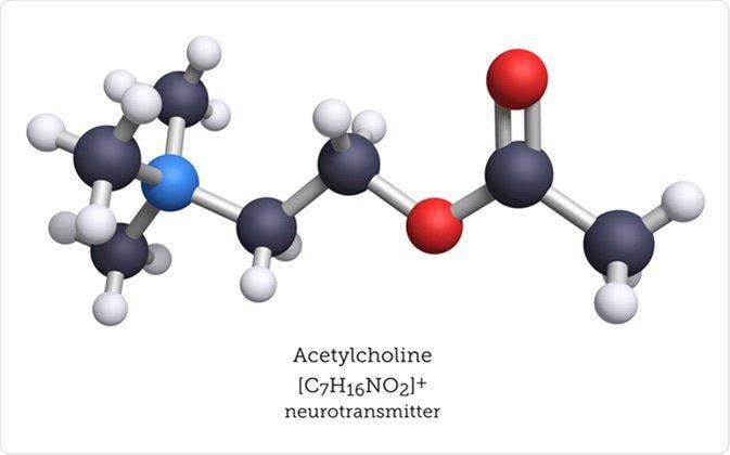 Hormone acetylcholine