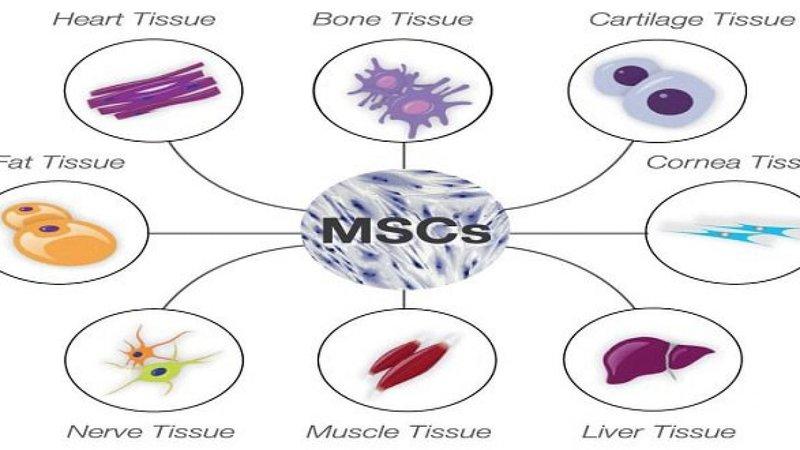 Tế bào gốc trung mô điều trị covid19