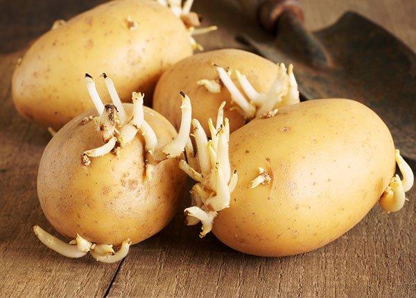 Ăn khoai tây nảy mầm có an toàn không?