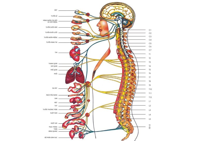 Hệ thống thần kinh của con người