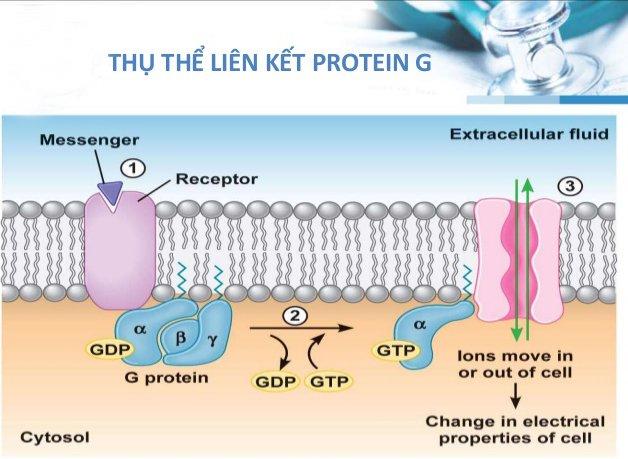 thụ thể kết hợp protein g