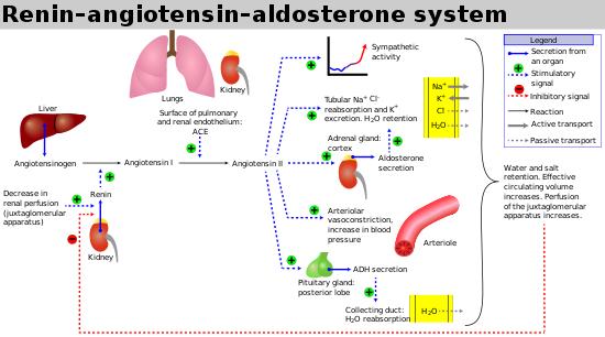 hệ thống renin-angiotensin