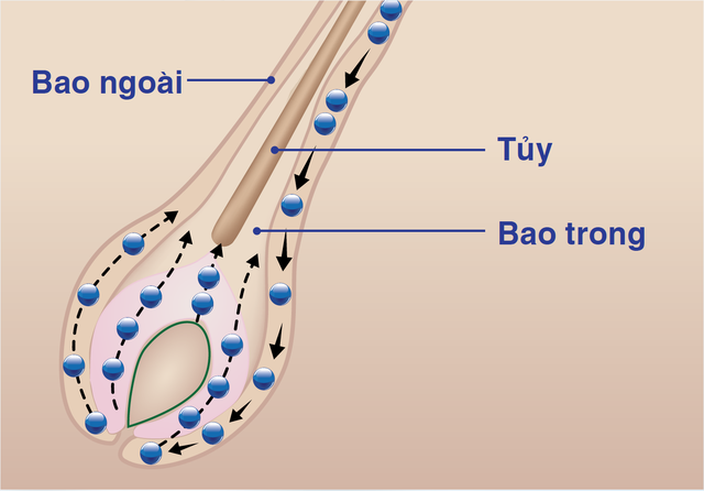 tế bào gốc ở lớp vỏ bao ngoài nang tóc